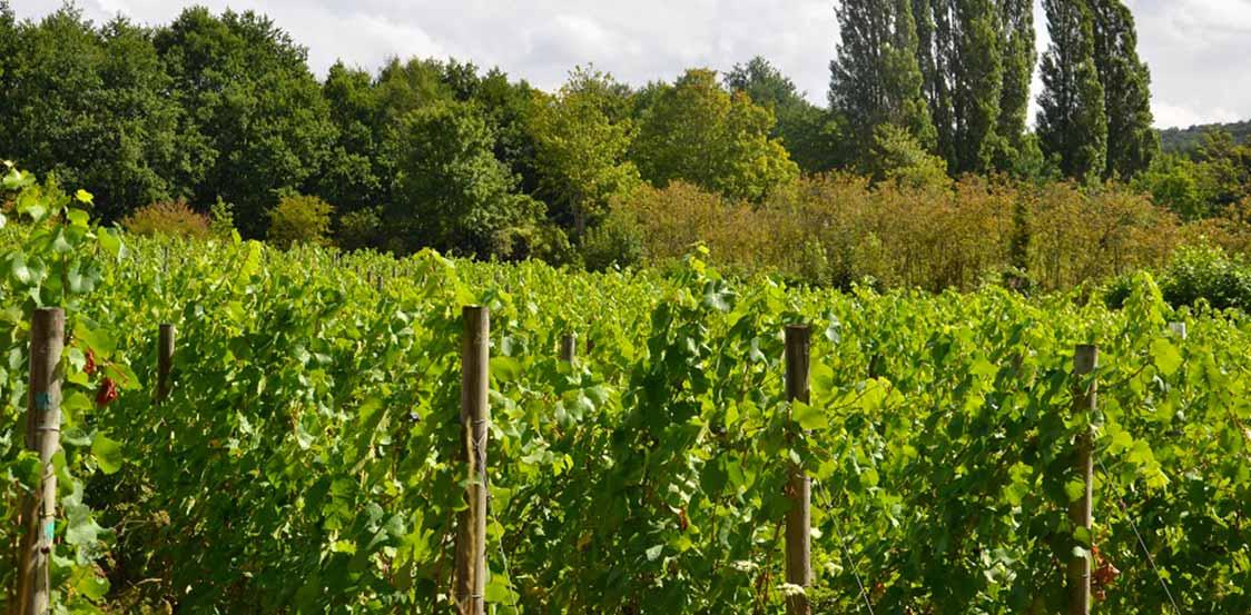 vigne-ville-de-saint-prix