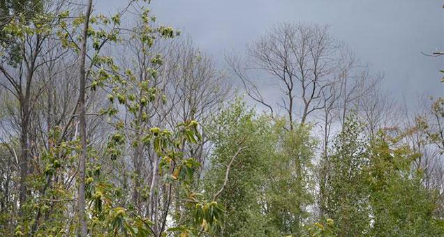 Les châtaigners victimes de la maladie de l'encre en forêt de Montmorency crédit : Séverine Rouet/ONF